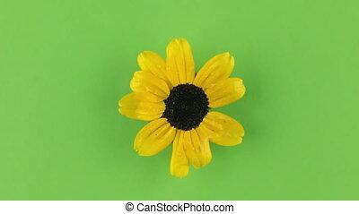 keying., vertragen, gele, camomile, achtergrond, groene, omwenteling