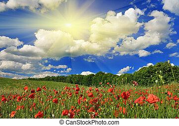 klaproos, lente, zonnige dag, field.