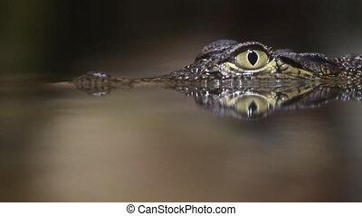 kleine, krokodil