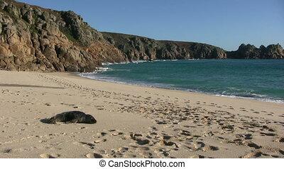 kleine, porthcurno, strand., zeehondje