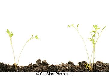 kleine, seedlings