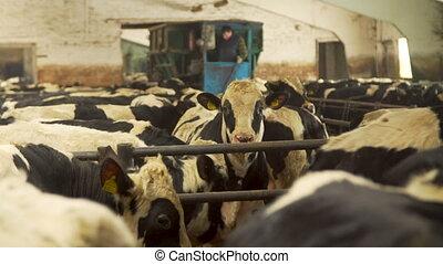 koestal, koien, boerderij, melkinrichting