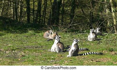 koesteren zich, lemurs, zon