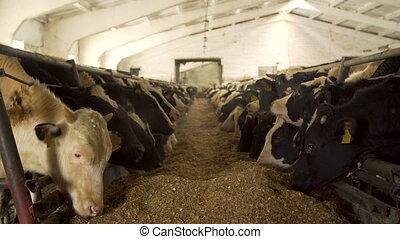 koien, melkinrichting, het voeden, koestal, boerderij