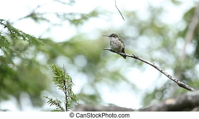 kolibrie, wild.