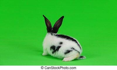 konijn, groene, scherm