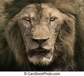 koning, dieren, gevaarlijk, op, gezicht, leeuw, safari, afrikaan, afsluiten, mannelijke