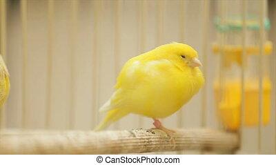 kooi, papegaai