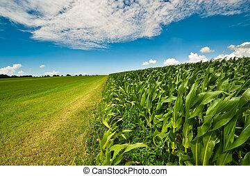 koren, zomer, bouwland