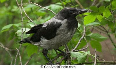 kraai, fledgling