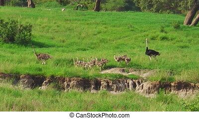 kuikentjes, ouders, struisvogel
