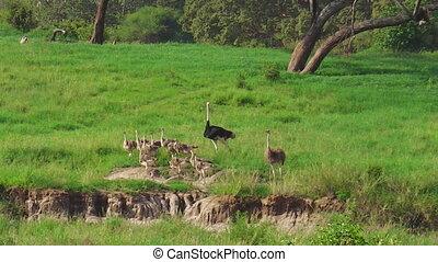 kuikentjes, struisvogels, gezin, afrikaan