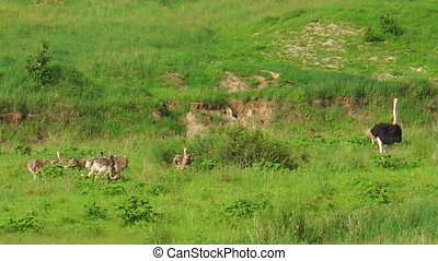 kuikentjes, struisvogels