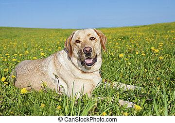 labrador, dog