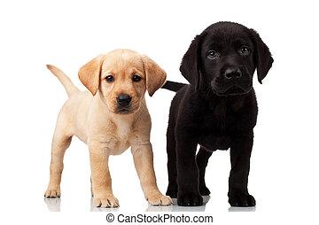 labrador, schattig, twee, hondjes