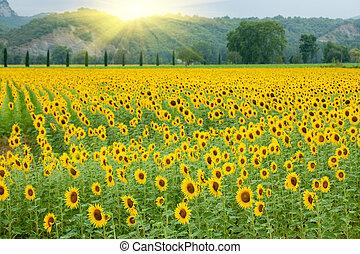 landbouw, zonnebloem