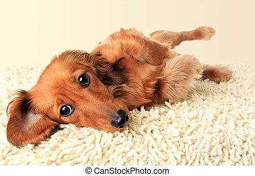 langharige, dachshund, puppy