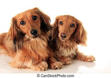langharige, twee, dachshunds