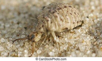 larve, macro, burrows, -, antlion, zand, fantastisch