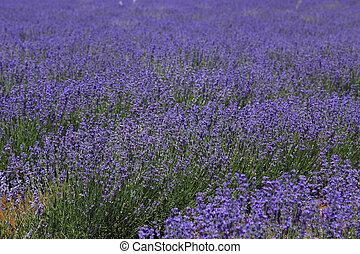 lavendel, bebouwd, viooltje, velden