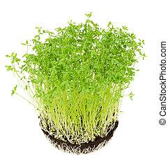 le, potting, compost, groene, puy, seedlings, linze