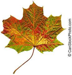 leaf., vrijstaand, esdoorn, herfst