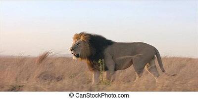leeuw, wild