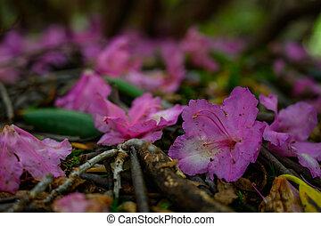 leggen, rododendron, bloemen, grond