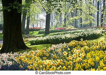 lente, beechtrees, daffodils
