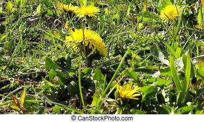 lente, fris, groen gras, paardenbloem