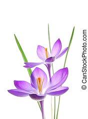lente, viooltje, krokus