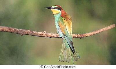 lente, vogel, mooi, lied, zingt, kleurrijke
