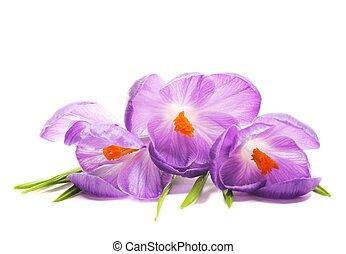 lentebloemen, krokus
