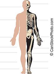 lichaam, skelet, menselijk