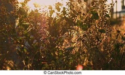 licht, gemengd, ondergaande zon , wild gras, soort, aanzicht