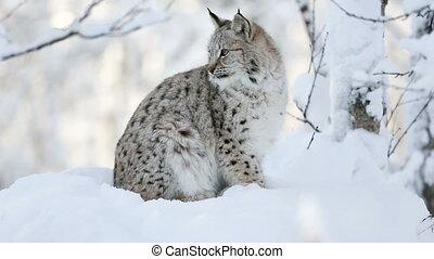 lynx, koude, welp, winter, bos, jonge