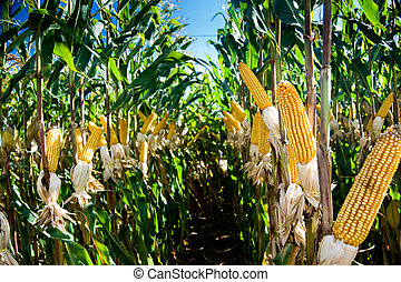 maïs, oogst