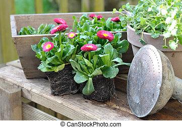 madeliefjes, seedlings