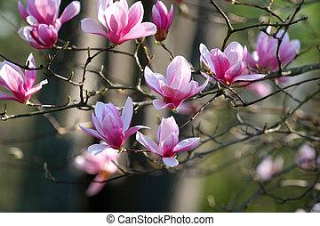 magnolia, japanner
