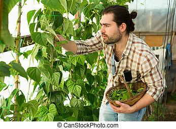man, oogst, bonen, breed