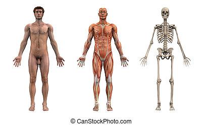 mannelijke , anatomisch, overlays, -, volwassene