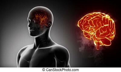 mannelijke , gedetailleerd, -, aanzicht, hersenen, anatomie