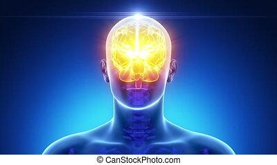 mannelijke , hersenen, medisch, anatomie, scanderen