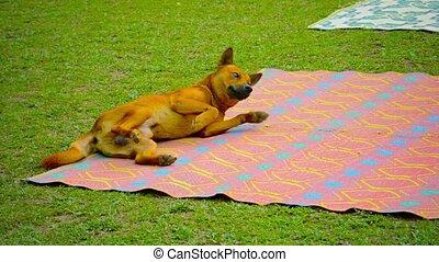 mannelijke , wikkeling, vang, vieng, deken, picknick, dog, laos