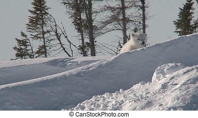 maritimus), (ursus, polar bear