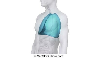 medisch, witte , longen, scanderen, mannelijke
