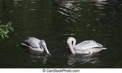 meer, witte pelikaanen, park, zwevend