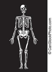 menselijk, anatomy., skelet