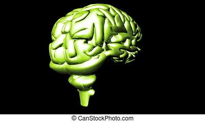 menselijke hersenen, 2