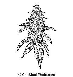 middelbare leeftijd , vector, bladeren, plant, gravure, buds., illustratie, marihuana
